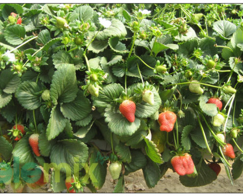 Strawberries-in-growbags-standing-gutter