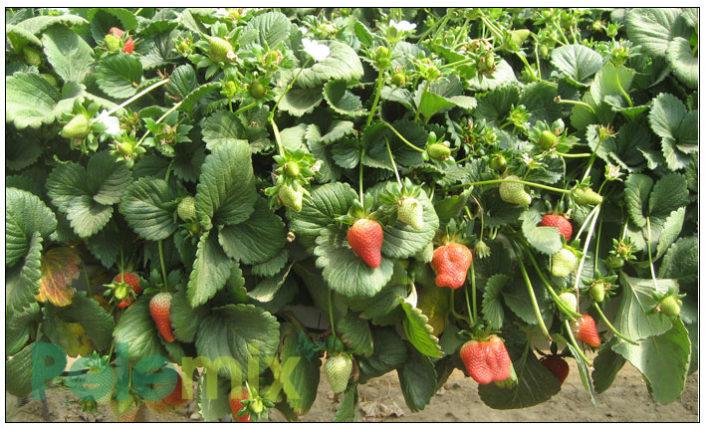 Strawberries in growbags- standing gutter