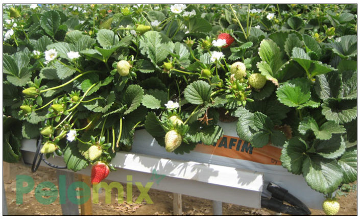 Strawberries production in Mexico