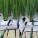 Spring_Onion_in_wide_growbags