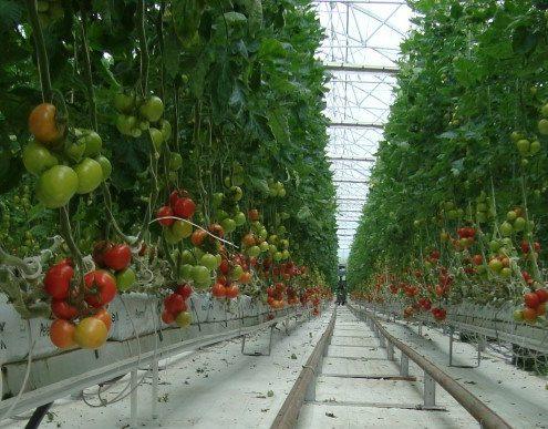 tomato in gh