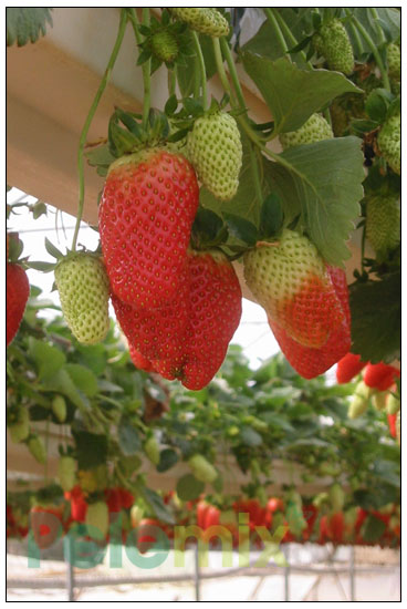 strawberry grow bags
