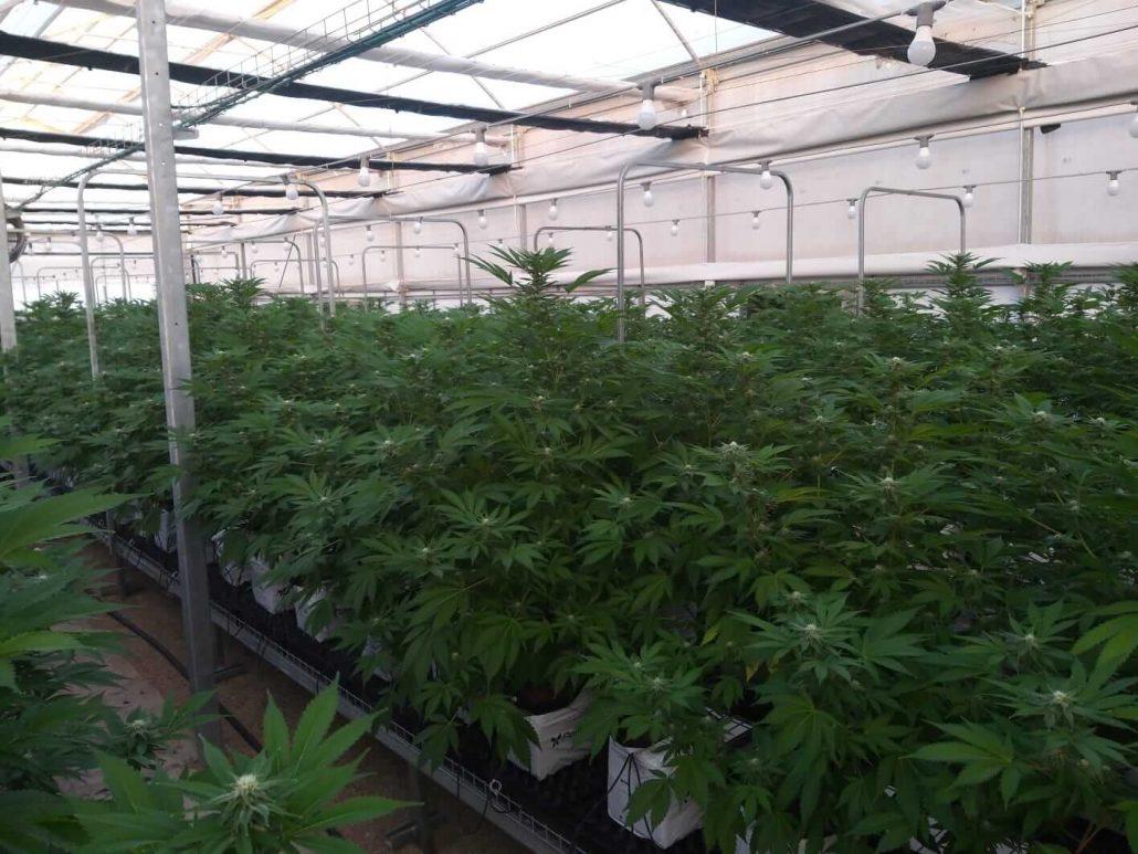 Sustrato de cannabis